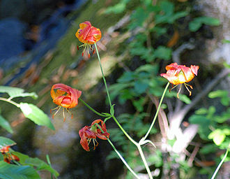 Jasper Ridge Biological Preserve - Columbia Tiger Lilies (Lilium columbianum) in San Francisquito Creek valley below Searsville Dam July 2011