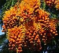 Colvillea racemosa 50D 5979.jpg