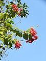 Combretum indicum - Chinese honeysuckle -Rangoon creeper at Peravoor (3).jpg