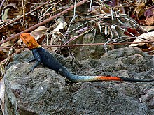 Common Agama (Agama agama) male (7609816076).jpg