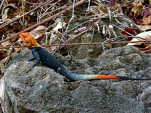 Agama (lizard) - Red-headed rock agama (Agama agama), Cameroon