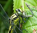 Common Clubtail , Gomphus vulgatissimus, mature female, eating a White-legged Damselfly, Platycnemis pennipes - Flickr - gailhampshire.jpg