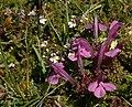Common Lousewort (Pedicularis sylvatica) - geograph.org.uk - 871783.jpg