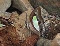 Common Nawab Polyura athamas by Dr. Raju Kasambe DSCN5879 (5).jpg