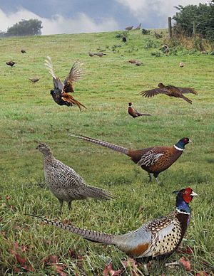 Common Pheasant from the Crossley ID Guide Britain and Ireland.jpg