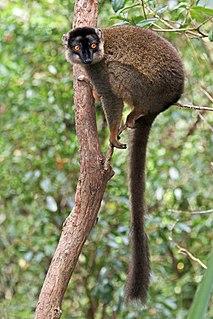 Common brown lemur Species of lemur