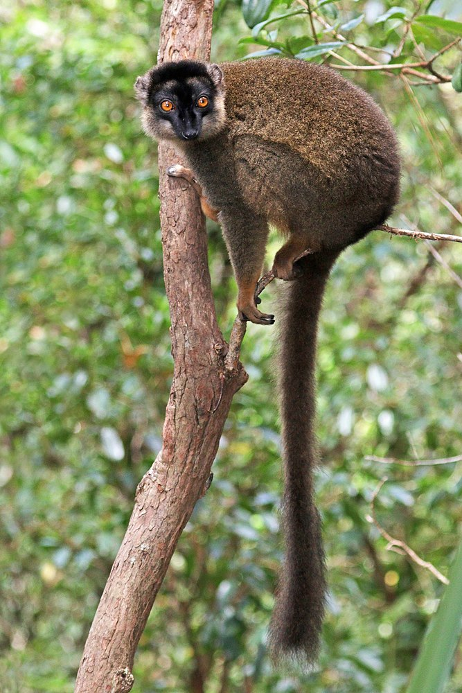 The average litter size of a Common brown lemur is 1