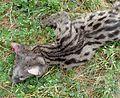 Common genet (Genetta genetta). Viverridae - Flickr - gailhampshire.jpg