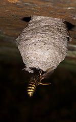 Osa vletuje do hniezda
