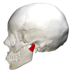 Condyloid process - lateral view.png