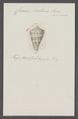Conus centurio - - Print - Iconographia Zoologica - Special Collections University of Amsterdam - UBAINV0274 086 07 0035.tif