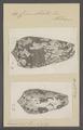 Conus striatus - - Print - Iconographia Zoologica - Special Collections University of Amsterdam - UBAINV0274 085 10 0059.tif