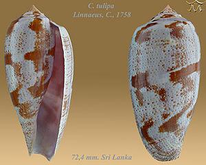 Conus tulipa - Image: Conus tulipa 4