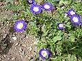 Convolvulus tricolor (Convolvulaceae) plant.JPG