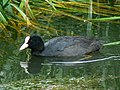 Coot in the Thames and Severn canal, near South Cerney - geograph.org.uk - 484267.jpg