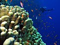 Coral, fish and one diver (6165872709).jpg