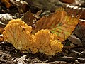 Coral Mushroom (31057031613).jpg