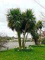 Cordyline australis, Torbay Palm - geograph.org.uk - 1201426.jpg