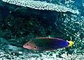 Coris gaimard macho, Sabah.jpg