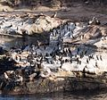 Cormorants and California sea lions in La Jolla (70589).jpg