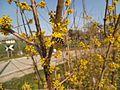 Corniolo fioritura sirfide.jpg