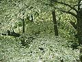 Cornus alternifolia argentea (21364244076).jpg