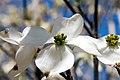 Cornus florida Cherokee Princess 17zz.jpg