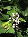 Cornus sericea 'Baileyi' Dereń Baileya 2011-09-11 02.jpg