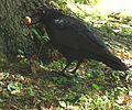 Corvus corone mit einer Walnuss 04b.JPG