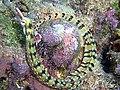 Corythoichthys flavofasciatus2.jpg