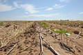 Cotton seedlings protected by wheat and grain sorghum stubble near Lubbock, Texas. Crops being managed in crop rotation. (25117057165).jpg