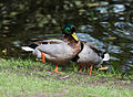 Couple of two male mallard ducks - homosexual Anas platyrhynchos - Moenchbruch - Mönchbruch - May 3rd 2013 - 02.jpg