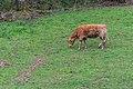 Cow in Aveyron 01.jpg
