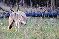 Coyote, Bandelier (2894022998).jpg