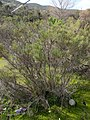 Coyote Brush (Baccharis pilularis) in Lakeside, CA.jpg