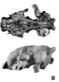 Crânio de Smilodon populator.png