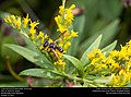 Crabronid wasp (Crabronidae, Cerceris sp.) (31043691645).jpg