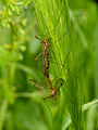 Craneflies (Nephrotoma sp.) mating (14250486779).jpg