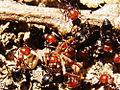 Crematogaster scutellaris feeding.jpg