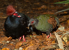 Crested Wood Partridge (Rollulus rouloul), male and female.jpg