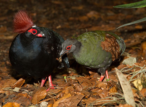 Crested Wood Partridge (Rollulus rouloul), male and female