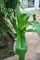 Crinum Asiaticum - Asia Tropical (1) (11983122315).jpg