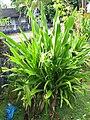Crinum lily (Crinum asiaticum) habit.jpg