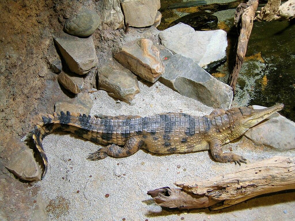 Crocodylus cataphractus faux-gavial d'Afrique2