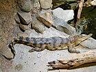 Crocodylus cataphractus faux-gavial d'Afrique2.JPG