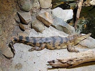 Mecistops - Image: Crocodylus cataphractus faux gavial d'Afrique 2