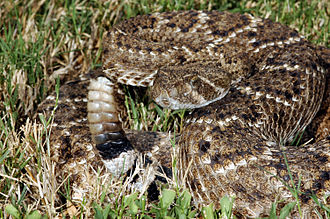 Rattlesnake - Western diamondback rattlesnake (Crotalus atrox), responsible for the majority of venomous snakebites in North America, coiled in defensive posture with rattle erect