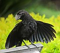 Crotophaga ani Garrapatero piquiliso Smooth-billed Ani (12989137344).jpg