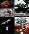 Crustacea diversity.jpg