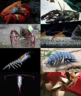 Multicrustacea Superclass of crustaceans